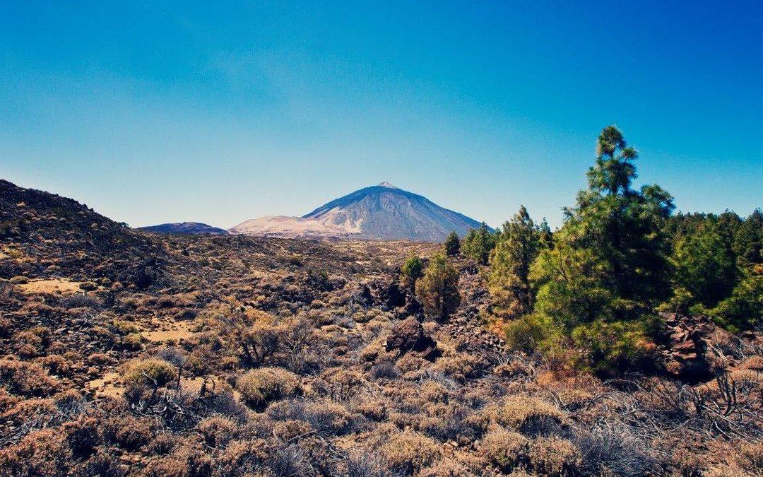 La sequía y los herbívoros, los principales enemigos de la retama del Teide